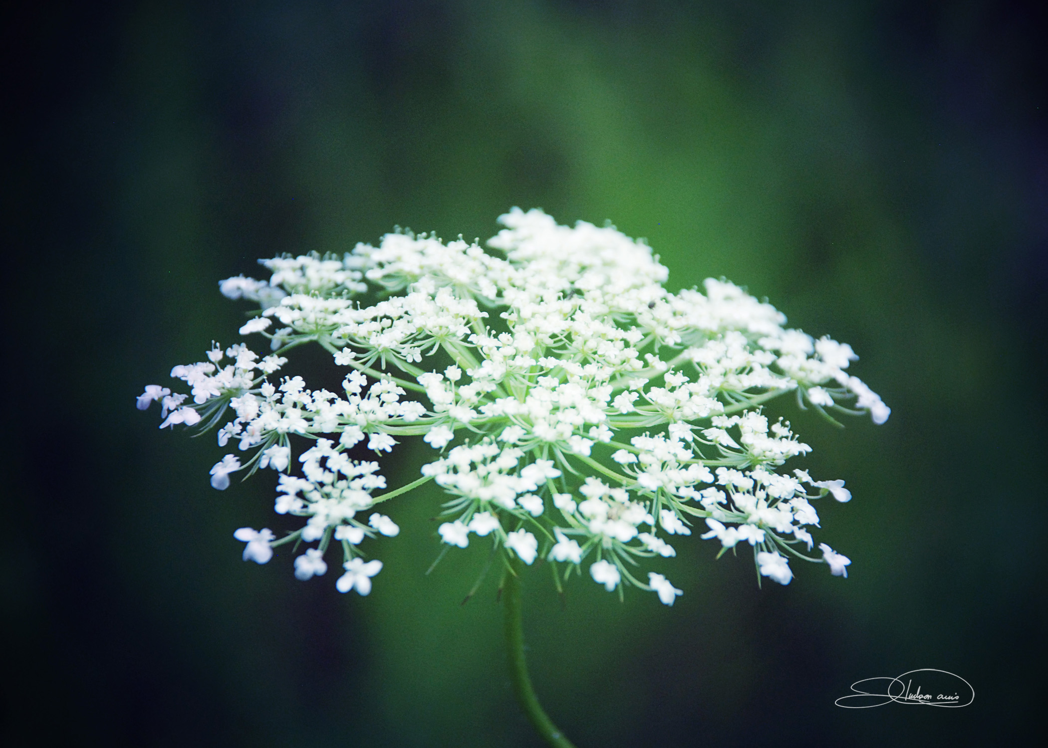 Queen Ann's Lace 1