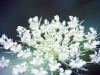 Queen Ann's Lace 2