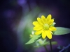 Yellow Flower Purple Background